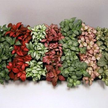 Фиттонии: пестрая сага почвопокровных