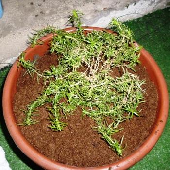Мшанка шиловидная – зеленый островок вашего дома