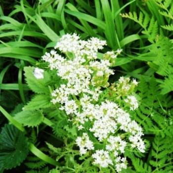 Анис: выращивание, уход и польза
