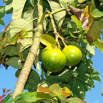 Авокадо в России: выращивание и уход