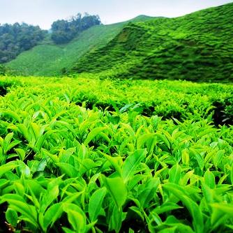 Можно ли вырастить чай у себя в огороде?
