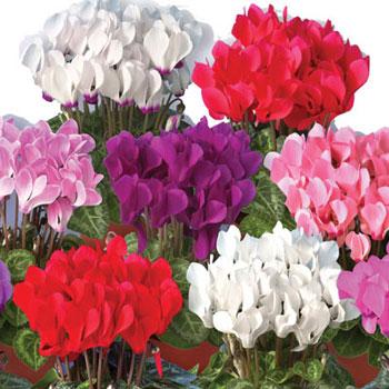 форум выращивание персидского цикламена из семян