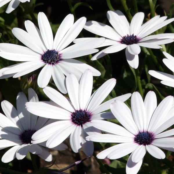 Диморфотека: выращивание и уход