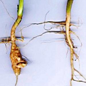 система фото корневая капусты