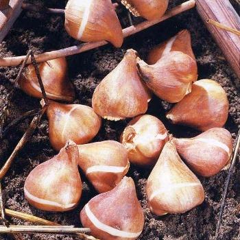Хранение клубней зимой: георгин, канн, бегоний, гладиолусов