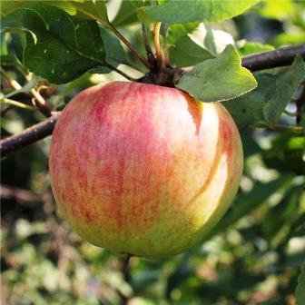Какие сорта яблок убирать в ноябре