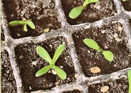 Наперстянка из семян в домашних условиях