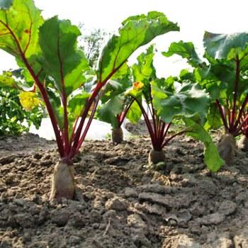 Посадка и выращивание свеклы в открытом грунте: уход и прореживание 420