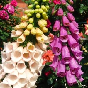 Какие цветы можно сажать в открытый грунт семенами 25